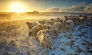 winter goats